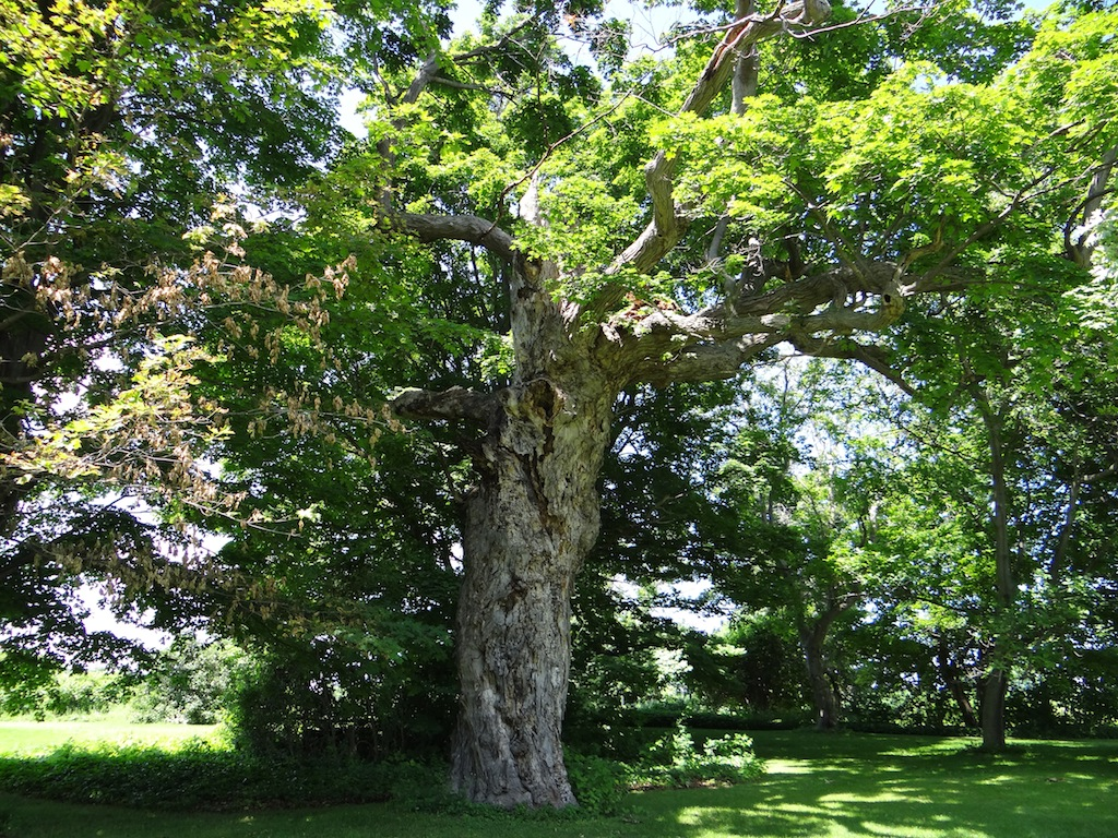 The Indian Tree--a massive maple