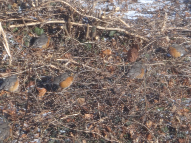 Robins warming themselves in the sun during the  freeze