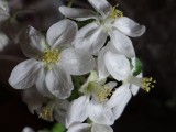 Close up of apple blossom pruned branch