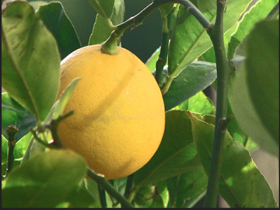 By Debra Roby (originally posted to Flickr as Meyer Lemon) [CC BY 2.0 (http://creativecommons.org/licenses/by/2.0)], via Wikimedia Commons