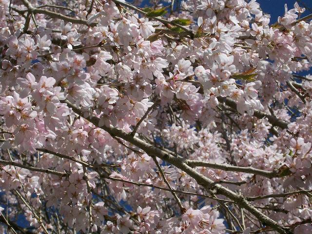 Weeping cherry blooms