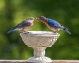 Male Bluebird Feeding Female