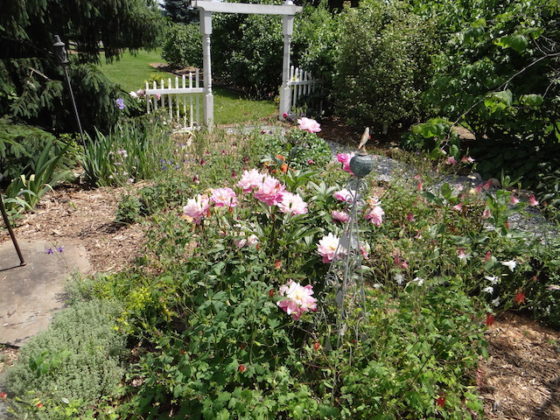Peonies by the gate garden