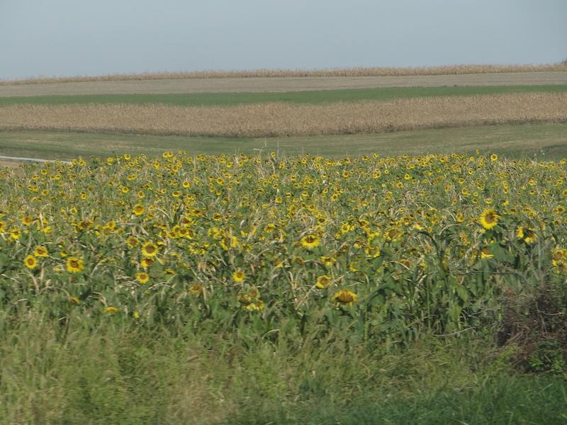 sunflowers-along-rt-97n